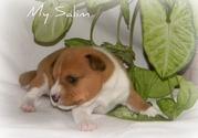 продам щенки Басенджи африканская нелающая собака