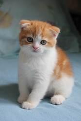 Супер котята -  шотландцы!