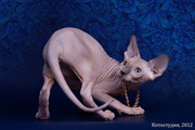 Котята канадский сфинкс от элитного питомника.