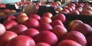 Яблоки польские широкий ассортимент сортов EUROHARVEST