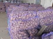 Оптовая продажа картофеля от КФХ Урал