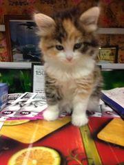 Котята от сиамской и метис сибирской