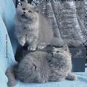 Котята британской породы длинношерстные